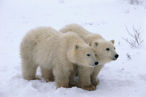 A View Of Two Polar Bear Cubs Huddling Print by Paul Nicklen