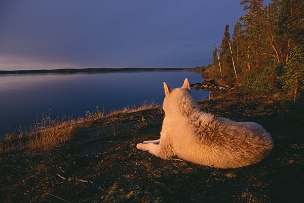 A White Husky Gazes At The Water Print by Paul Nicklen