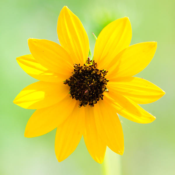 A Wildflower Of Texas - Arrowleaf Balsamroot Print by Ellie Teramoto