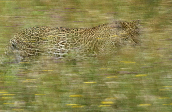 A Young Female Leopard Moving Print by Michael Melford