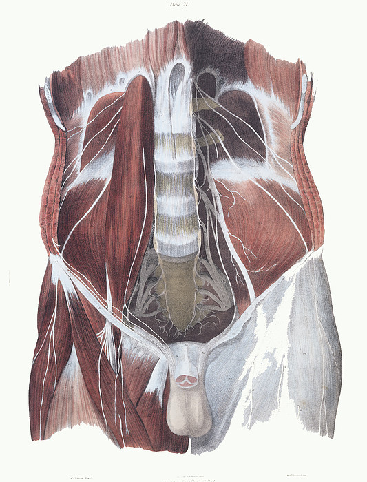 Abdominal Spinal Nerves Print by Sheila Terry