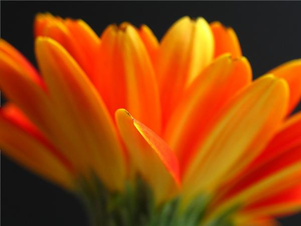 Abstract Gerbera Petals Print by Juergen Roth