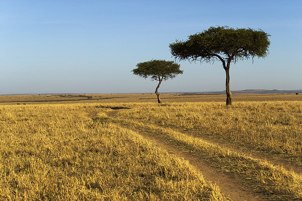 Nigel Hicks - Acacia Trees In The Maasai Mara