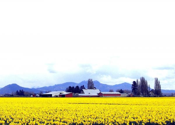 Acres Of Daffodils Print by Will Borden