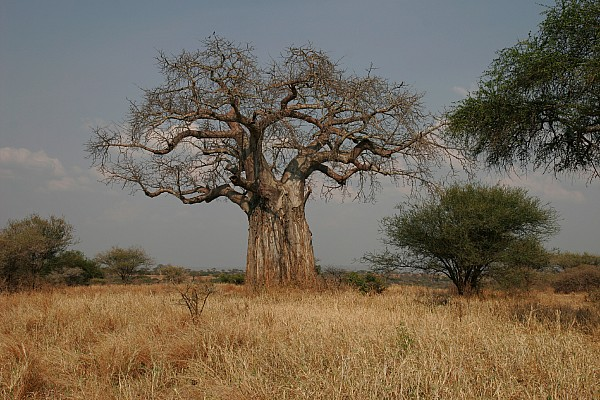 African Baobab Tree In The Tarangire Print by Gina Martin