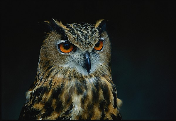 African Eagle Owls Are Among The 200 Print by Joel Sartore