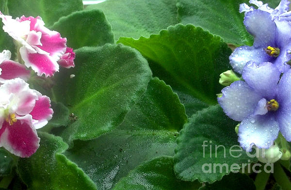 African Violets Intertwined II Print by Nancy Mueller