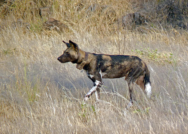 African Wild Dog Print by Tony Murtagh