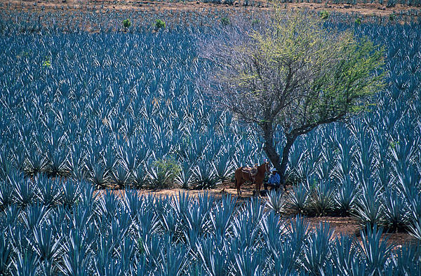 Agave Print by Christian Heeb
