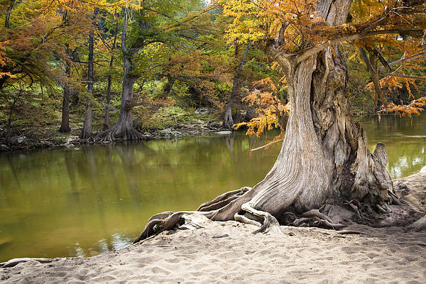 Mark Weaver - Aged Cypress Tree On The Banks Of The Pedernales