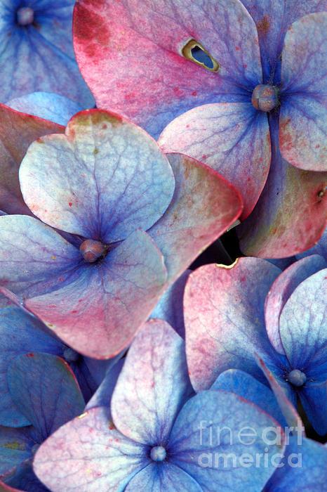 Ageing Hydrangea Print by Gaspar Avila
