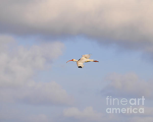 Al Powell Photography USA - Airborne Ibis