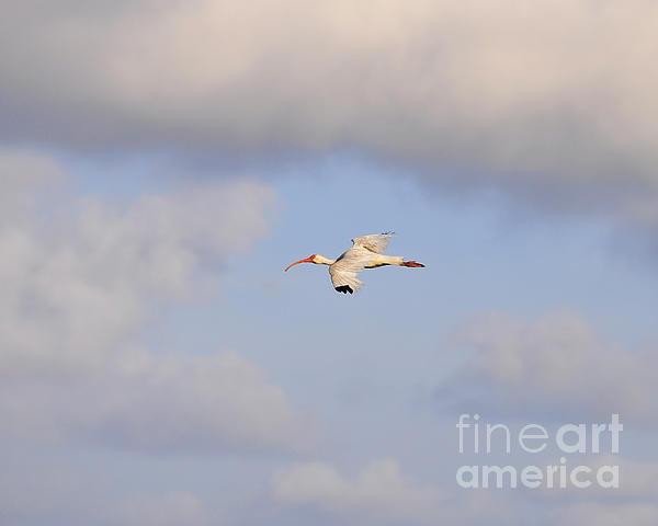 Al Powell Photography USA - Airborne Ibis