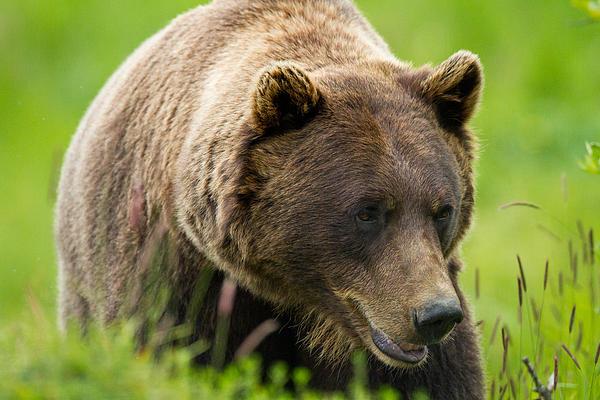 Alaskan Grizzly Print by Adam Pender