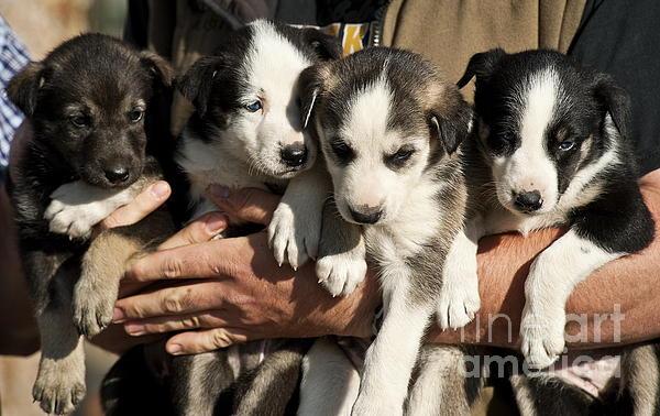 Alaskan Huskey Puppies Print by John Greim