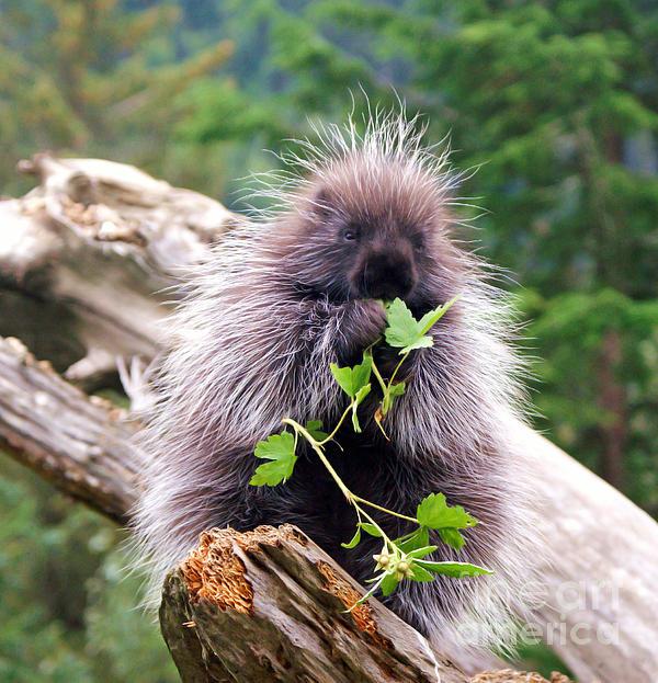 Adriano Galdieri - Alaskan Porcupine