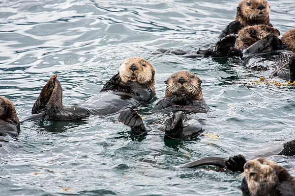 Alaskan Sea Otters Print by Josh Whalen