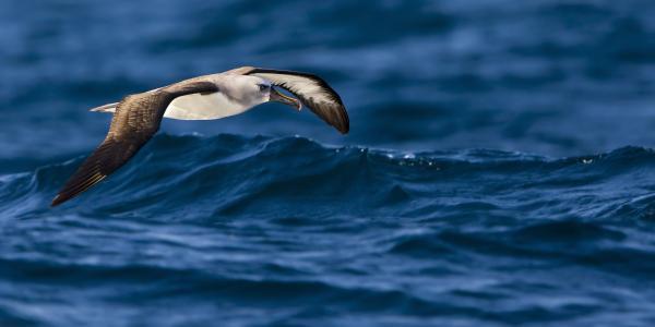 Albatross Of The Deep Blue Print by Basie Van Zyl