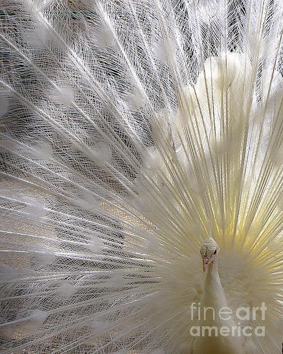 Lori Pessin Lafargue - Albino Peacock