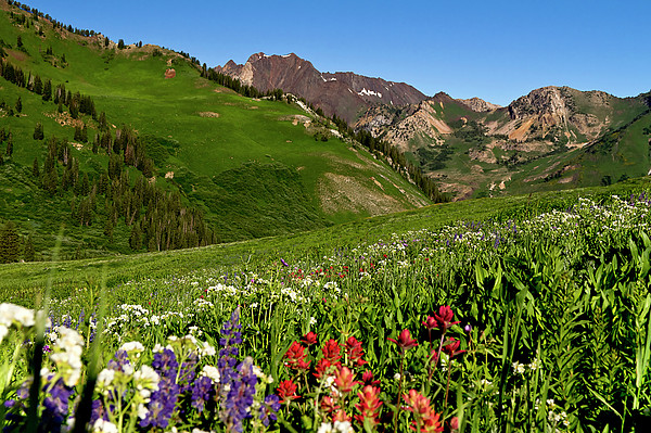 Albion Basin Wildflowers Print by Rob Daugherty - RobsWildlife.com