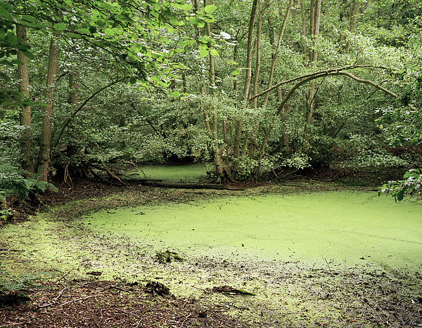 Algal Bloom In Pond Print by Michael Marten
