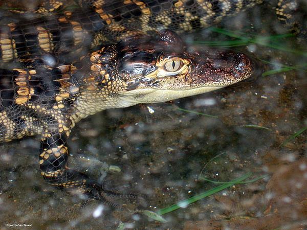 Alligator Print by Suhas Tavkar