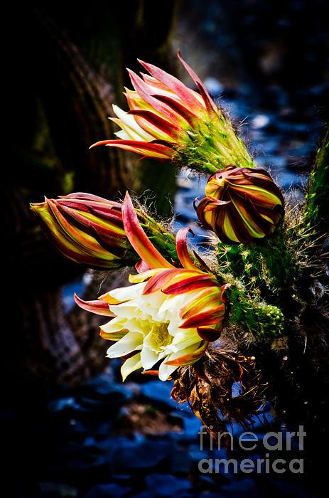 Athena Lin - Alluring Cactus