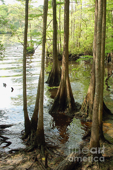 Along The Waccamaw - Cypress Swamp Print by Suzanne Gaff