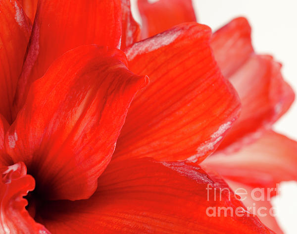 Amaryllis Fade Red Amaryllis Flower Subtly Fading Into A White Background Print by Andy Smy
