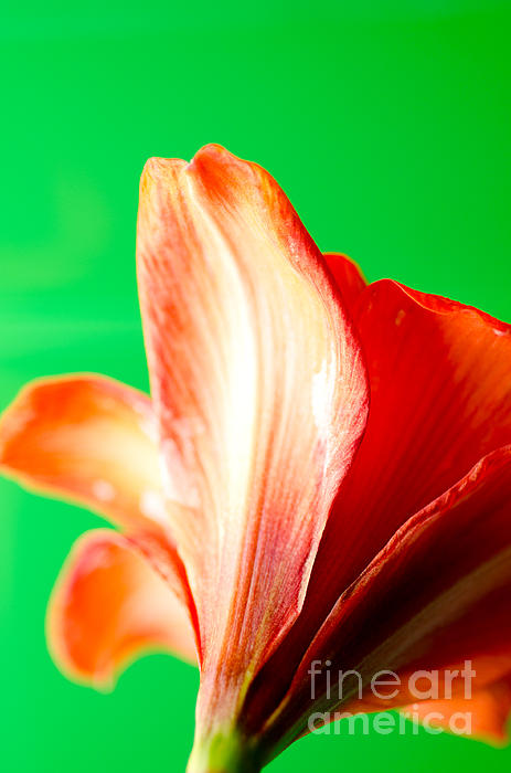 Amaryllis Head Pt Orange Amaryllis Flower On Green Background Print by Andy Smy