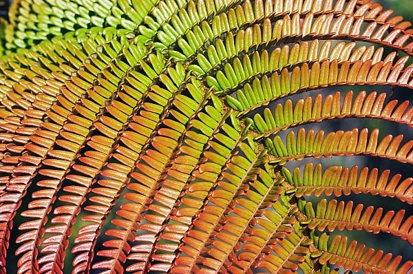 Amaumau Fern Frond Print by Greg Vaughn - Printscapes