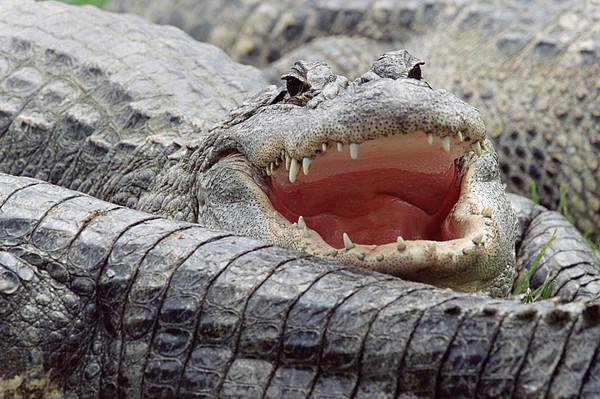 American Alligator Alligator Print by Tim Fitzharris