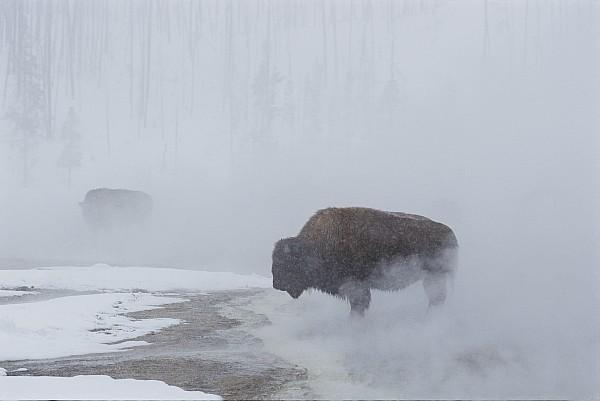 American Bison Bison Bison Graze Print by Norbert Rosing