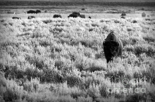 American Bison In Black And White Print by Sebastian Musial