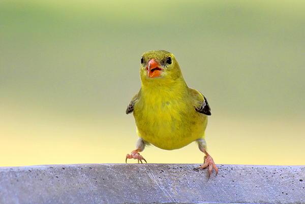 Susan Schwarting - American Goldfinch