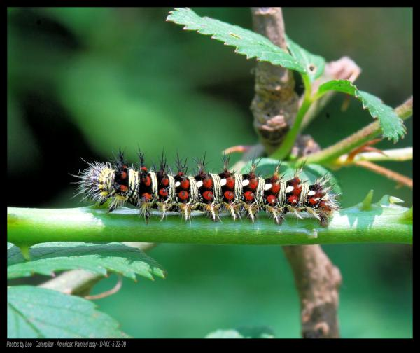 American Painted Lady Caterpillar 05-22-09 Photograph