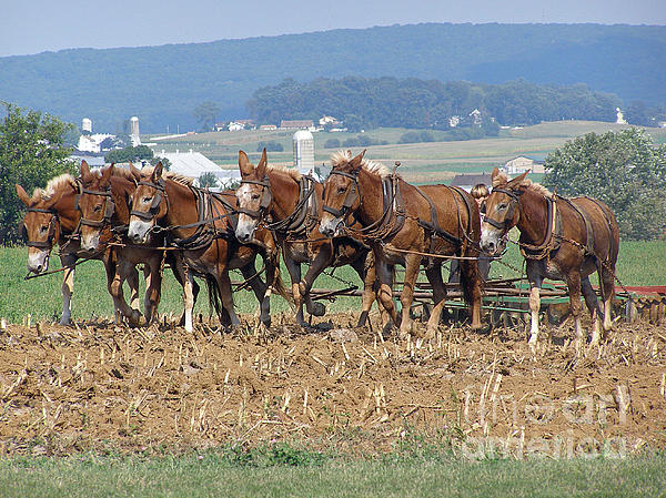 Amish Working Team  Print by Louise Peardon