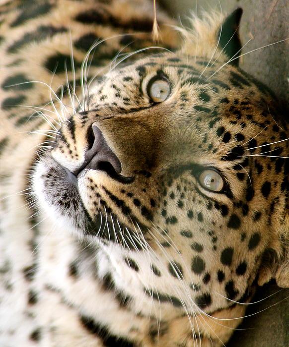 Karen Grist - Amur Leopard