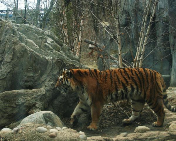 http://images.fineartamerica.com/images-medium/amur-tiger-dawn-downour.jpg