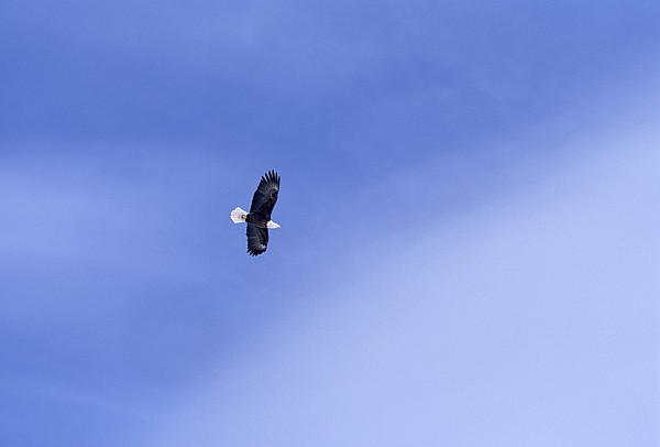 An American Bald Eagle In Flight Print by Heather Perry