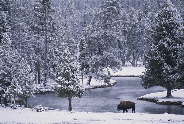 An American Bison Alongside A River Print by Michael Melford