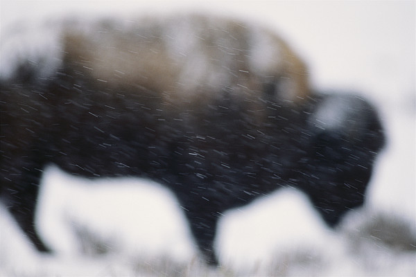 An American Bison Braves A Blizzard Print by Annie Griffiths