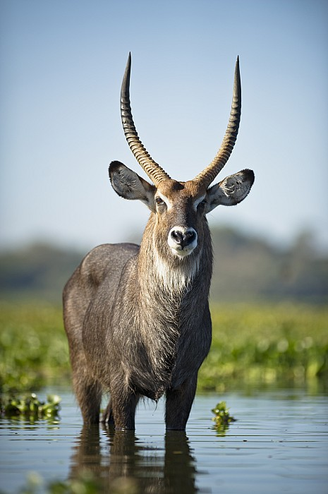 An Antelope Standing In Shallow Water Print by David DuChemin