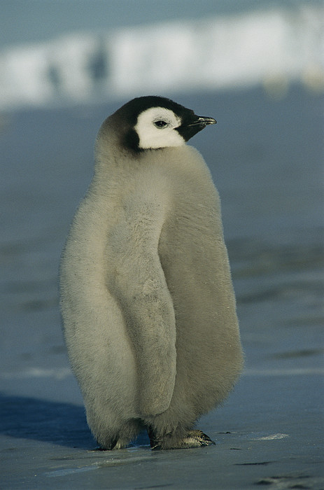 An Emperor Penguin Chick Sports Print by Maria Stenzel