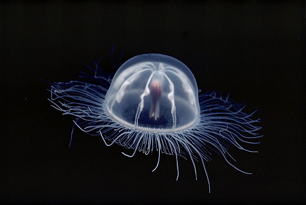 An Inch Long Transparent Jellyfish Print by Bill Curtsinger