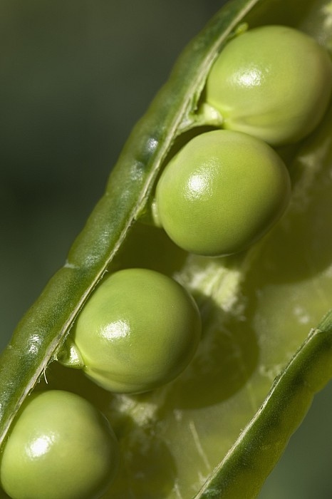 An Opened Green Pea Pod Alberta, Canada Print by Michael Interisano