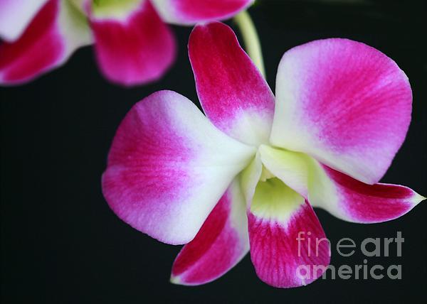 An Orchid Print by Sabrina L Ryan