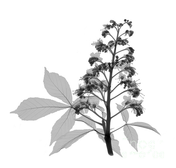An X-ray Of A Chestnut Tree Flower Print by Ted Kinsman
