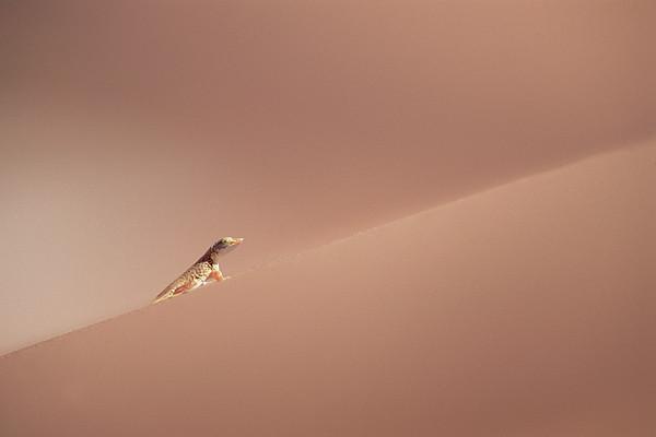 Anchietas Desert Lizard Meroles Print by Gerry Ellis