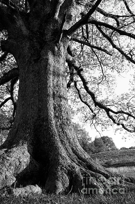 Ancient Oak Print by Thomas R Fletcher